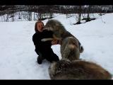Девушка и волки.